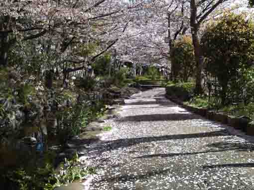 thousands of patals of sakura blossoms