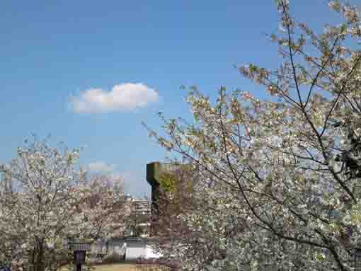 cherry blossoms and an old Lock Gate