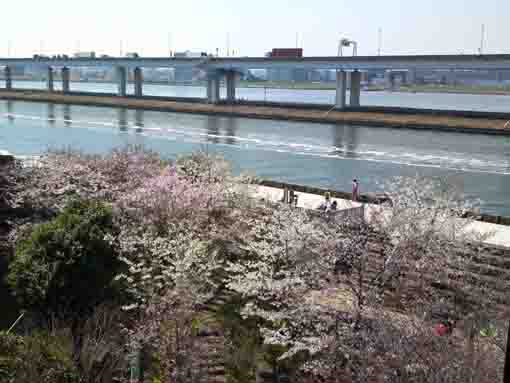 cherry blossoms on Arakawa River