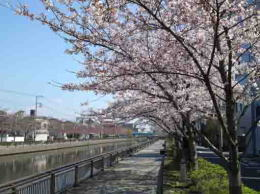 sakura trees along Shinkawa River
