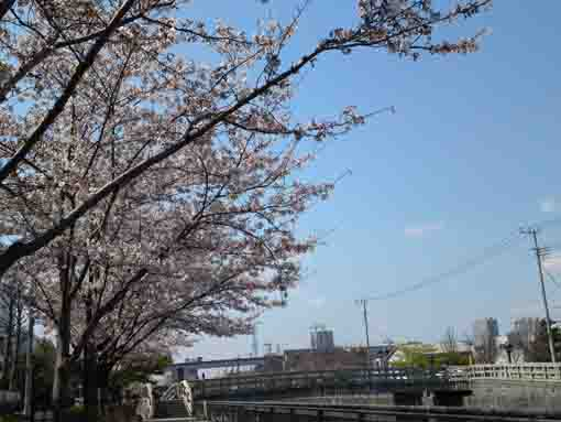 some bridges and cherry trees on Shinkawa