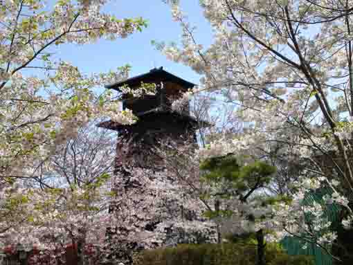 a fire lookout and cherry blossoms