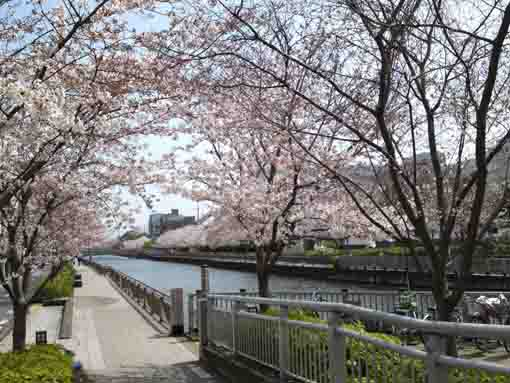 thousands of cherry trees along Shinkawa