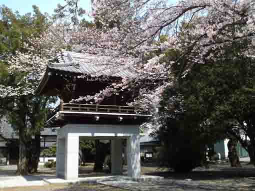 cherry blossoms in Soneiji Temple