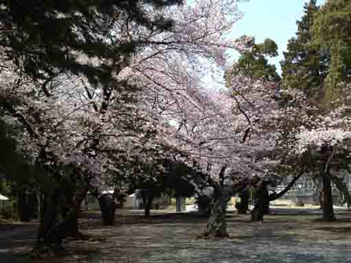 cherry trees in Soneiji Temple