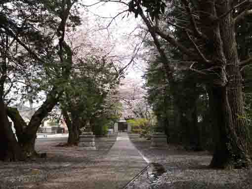 the approach road of Soneiji and Sakura