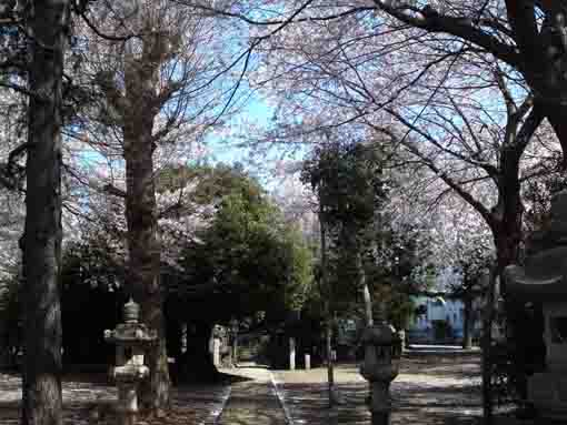 cherry blossoms over the approach road