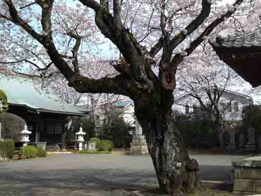 cherry blossoms in Horenji Temple