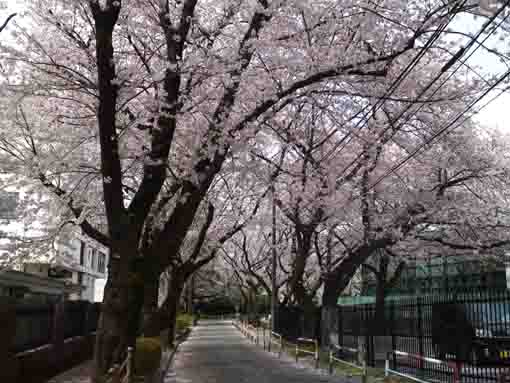 cherry blossoms along the street