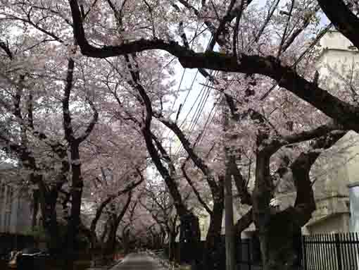 a tunnel with lines of cherry trees