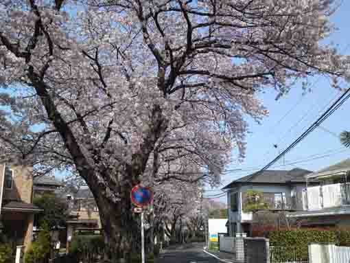 Cherry Blossmos over a path of Literature