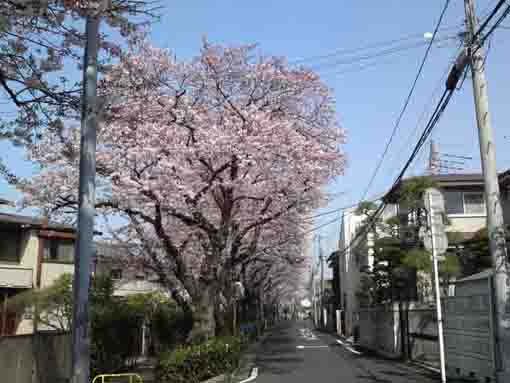 Cherry trees along the street