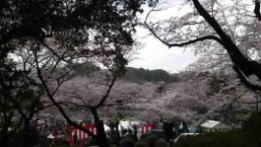 cherry blossoms in Satomi Park