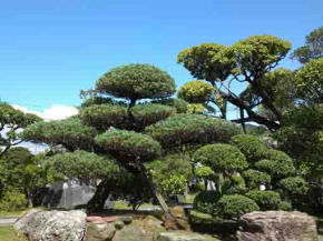 the pine trees in seiganji temple
