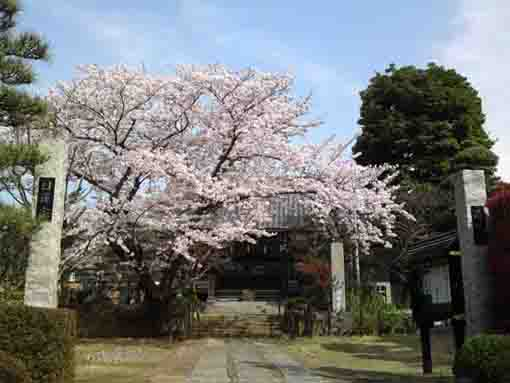 cherry blossoms in Seisuiji