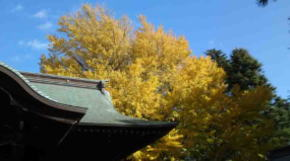 the gingko tree and ths shaden
