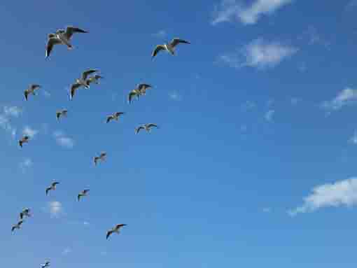 the formation flight of sea gulls