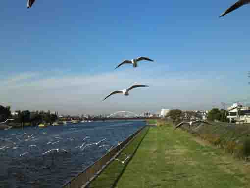 sea gulls flying along Shinnakagawa