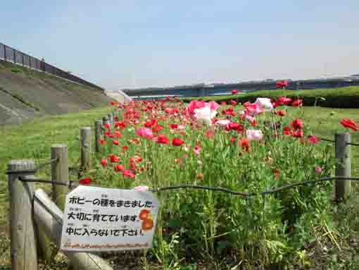 poppies blooming along Shinnakagawa