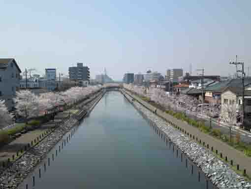 cherry blossoms from Shinkawa Oohashi