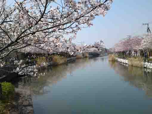 cherry blossoms from Shinkawabashi
