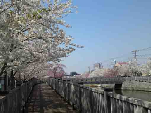 cherry blossoms around Koedobashi