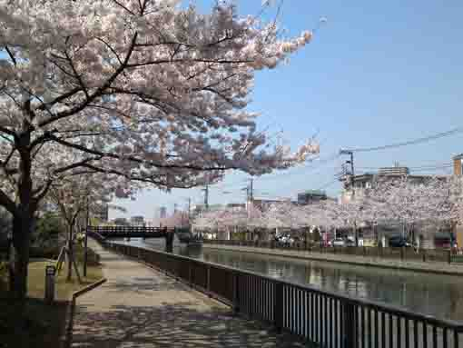 cherry blossoms before Ninjabashi