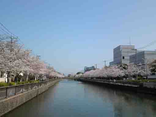 Nishi Suimon Bridge and cherry blossoms