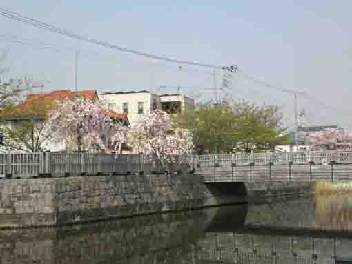 weeping cherry trees on Koedobashi