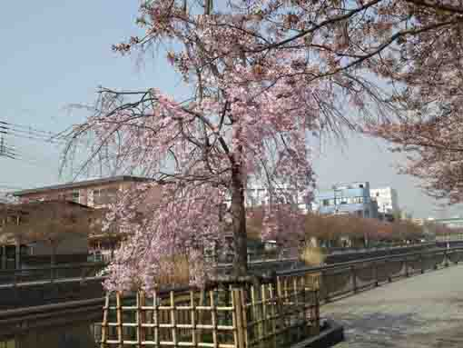weeping cherry blossoms along Shinkawa