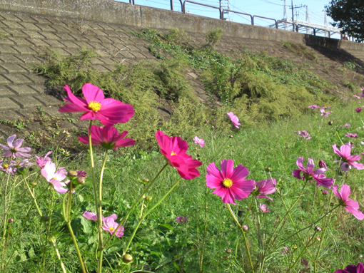 pink cosmoses at Shinnakagawa
