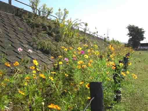 several autumn flowers at Shinnakagawa