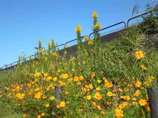yellow flowers at Shinnakagawa River