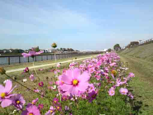 cosmoses blooming along Shinnakagawa