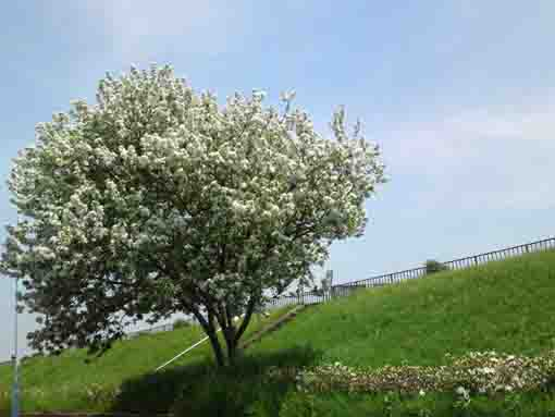 white blossoms blooming on the bank
