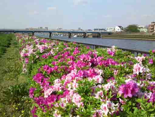 the river and azalea flowers
