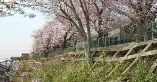 the cherry trees of ShirahataJinja Shrine
