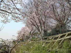 the cherry blossoms in Shirahata Jinja
