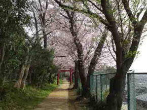 the 2nd torii gate and cherry trees