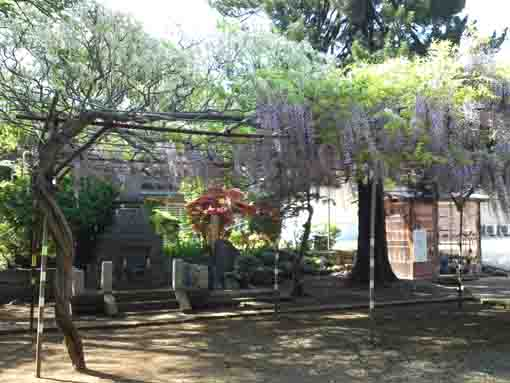 the wisteria trellis in Shogyoji Temple