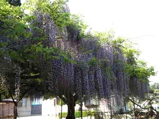 deep purple wisteria flowers