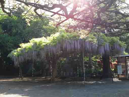 wisteria trellis in the fine day