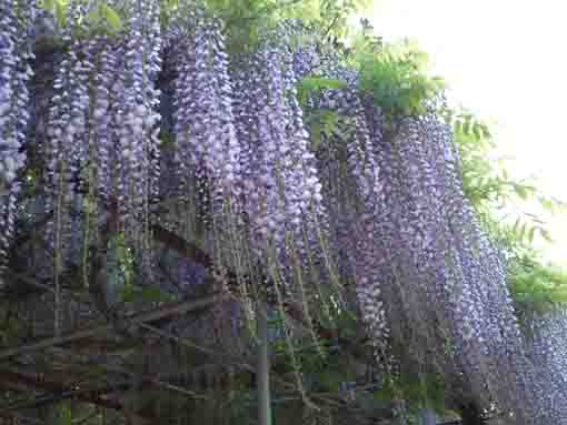 wisteria blossoms fully blooming