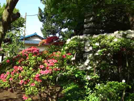 some colors of azaleas in Shogyoji