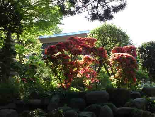 red azaleas in Shogyoji Temple