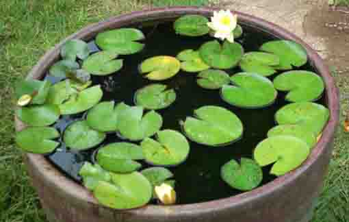 water lilies flooting on the jar