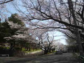 cherry blossoms in Suwada Park