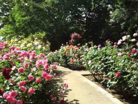 a path covered with roses