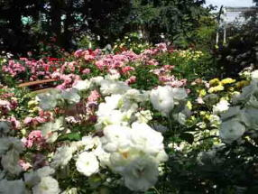 white roses in Suwada Park
