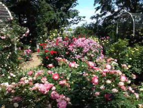 colorful roses in Suwada Park